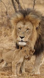 25 lion family ideas lion cub big eyed