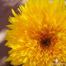 teddy sunflowers teddy sunflower seedgeeks heirloom seeds