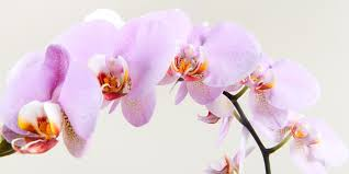 orchid pictures how to care for orchids bunnings warehouse