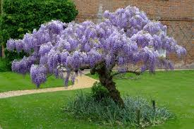 How To Grow Grapes In Your Backyard by How To Grow Wisteria Dengarden