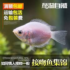buy spill ornamental fish aquarium fish pink rainbow