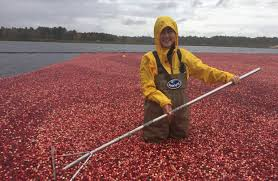 beyond thanksgiving the humble cranberry takes root in china wsj