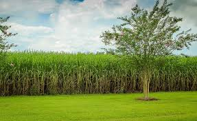 sugar cane free pictures on pixabay