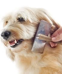 wszystko o bichon frise hybrydowe rasy psów