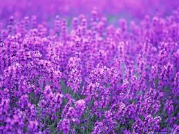 lavender flowers quotes about lavender flowers quotesgram wallpaper
