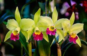 cattleya orchids 171010985 jpg