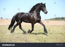 Nice Hourse Nice Friesian Horse Running Stock Photo 114732064 Shutterstock