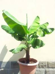 musa banana cavendish our house plants