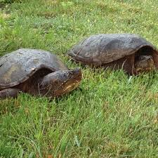 Backyard Reptiles 36 Best Snapping Turtles Images On Pinterest Snapping Turtle