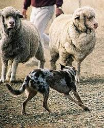 australian shepherd herding sheep herding dog wikipedia