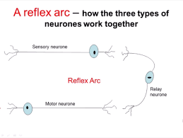 Knee Reflex Arc Nervous System Part 2 Reflex Arc A Level Biology Youtube