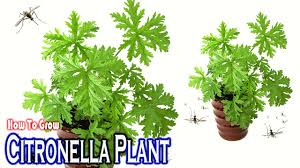 mosquito plants how to growing citronella mosquito plant gardening tips youtube