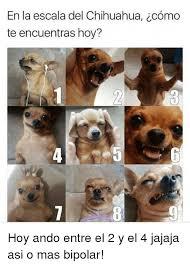 Memes De Chihuahua - en la escala del chihuahua icomo te encuentras hoy hoy ando entre