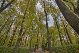 Summer Garden St Petersburg Russia - photo 1925 09 linden trees in letniy sad summer garden st