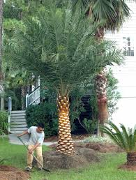 sylvester palm tree sale palm varieties