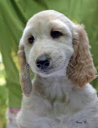 afghan hound kennel in australia afghan hound puppies puppy dog gallery