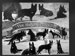 south australian german shepherd breeders vom hallynn haus german shepherd u0027s breeders of solid blacks