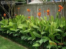 cana lilly orange flowered variegated canna pretoria to