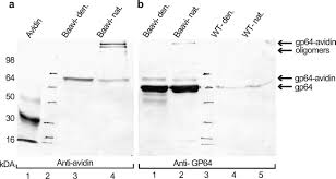 enhanced gene delivery by avidin displaying baculovirus molecular