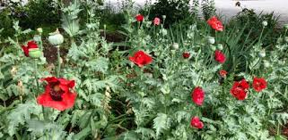 Vase With Red Poppies How To Grow Oriental Poppies In Your Garden Today U0027s Homeowner
