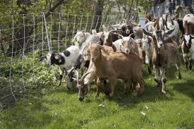 Get Your Goat Rentals by Gordy The Goat Briefly Kidnapped From Herd Grazing In St Paul