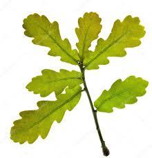 White Oak Leaf Oak Tree Green Leaves Isolated Over White Background U2014 Stock Photo