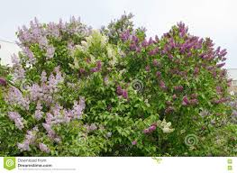 the lilac bush in the park stock photo image 71924108