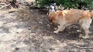 shedding an australian shepherd australian shepherd puppy vs golden retriever youtube