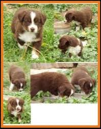 6 week old miniature australian shepherd mini aussie pup for sale 2014 litter 5 callie pup 4 blue eyed