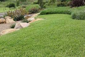 http www softleafbuffalograss au buffalo lawn care and