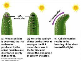 phototropism in plants higher biology revision biology
