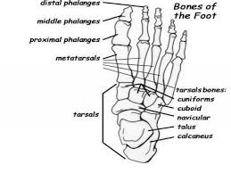 nervous system interact with the skeletal system foot bones