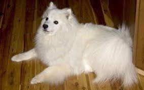 american eskimo dog apartment american eskimo dog the dogington post