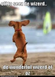 Wiener Dog Meme - i has a hotdog dachshund page 11 funny dog pictures dog