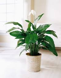 Low Light Flowering Plants by These Office Friendly Plants Will Bring In Some Breath Of Fresh