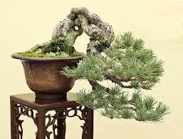 kokufu 2016 han kengai semi cascade pinterest bonsai and