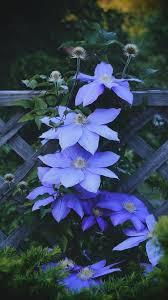 Blue Flower Vine - best 25 clematis flower ideas on pinterest clematis plants