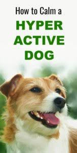 hyperactive dogs how to calm a hyperactive dog pbs pet travel