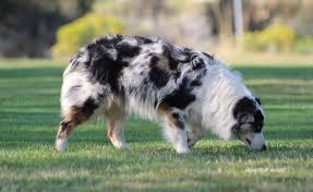 australian shepherd cost puppies for sale