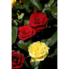 Dozen Roses Symbolism Of Two Dozen Roses Our Everyday Life
