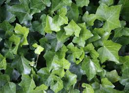 english ivy poisonous toxic plants for pets 10 types owners