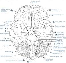 Answer Key For Anatomy And Physiology Lab Manual Exercise 19 Gross Anatomy Of The Brain And Cranial Nerves