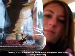 black widow spiders facts u0026 extermination information