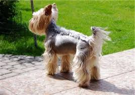 male yorkie haircuts excellent cute yorkie haircuts different yorkshire terrier