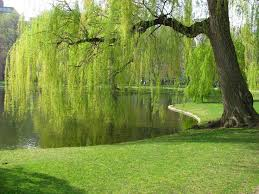 83 best weeping willow trees images on weeping willow