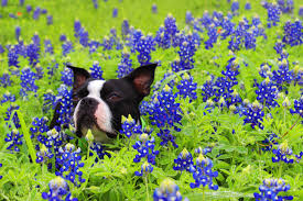 10 gorgeous places to see bluebonnets this spring kxan com