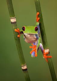 best 25 eyed tree frog ideas on eye photo