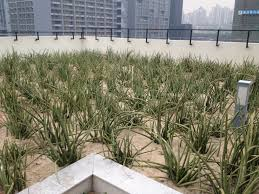 500 square meter shenzhen university green roof enters its second year of