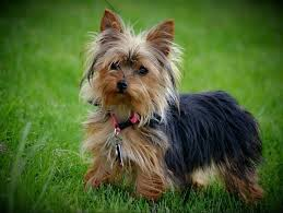 stunning yorkie hair cuts 85 best yorkie haircuts images on pinterest yorkie yorkie