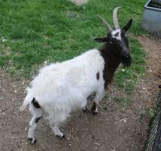 bagot goat wikipedia